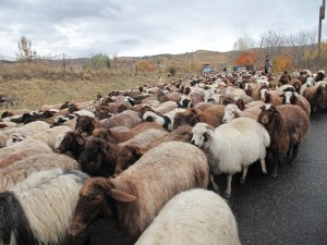 Armenian sheep